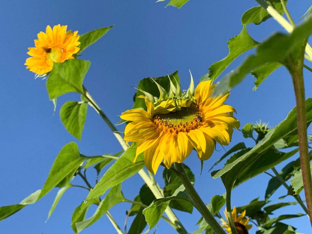 Die Sonnenblumen.